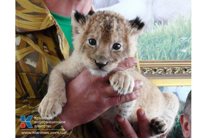 В «Тайгане» у слепой львицы  родился детеныш
