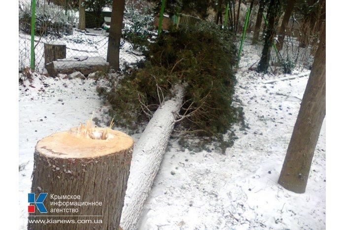 В Алуште отмечены факты незаконной вырубки деревьев