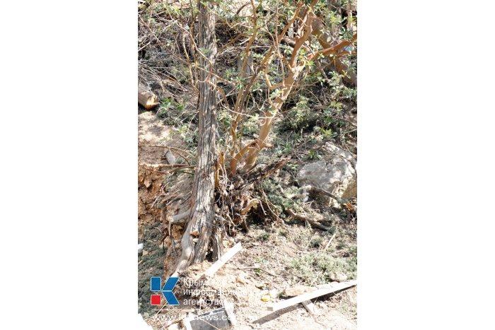 На ЮБК уничтожаются краснокнижные деревья