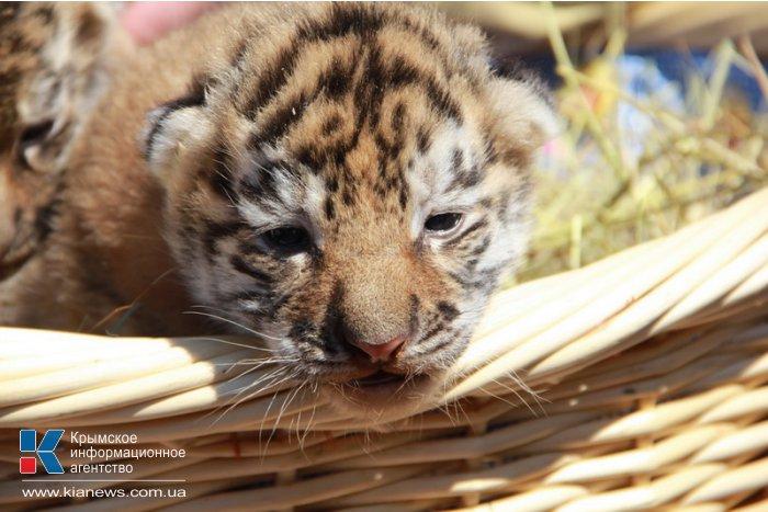 В Крыму показали тигрят, родившихся в ночь референдума