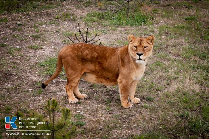 В сафари-парке «Тайган» открыли сезон хищников