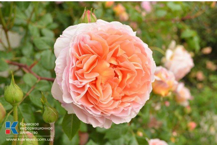 В Никитском ботсаду зацвели розы
