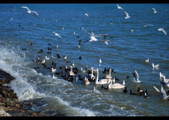 В Евпаторию на зимовку прилетели лебеди