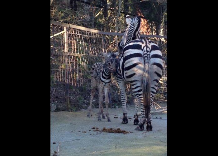 В зоопарке Ялты родился малыш зебры
