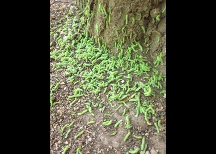 В Гагаринском парке Симферополя аномальная активность гусениц