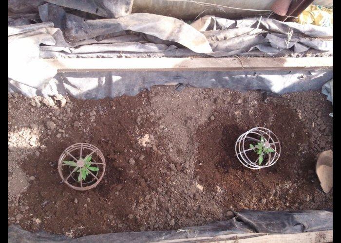 Житель Симферополя задержан за выращивание конопли