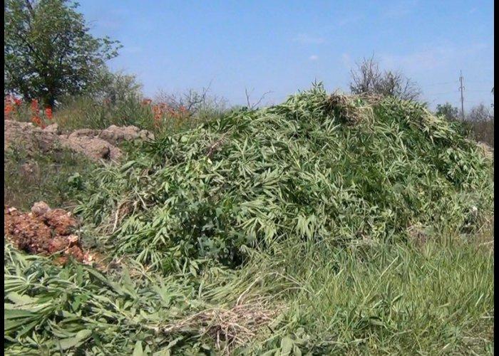 В Симферополе уничтожили 2,5 тыс. кустов конопли