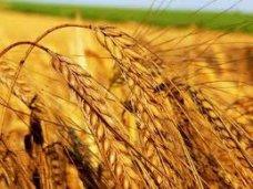 В Крыму не удался урожай по зерновым и озимым