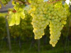 В Крыму собрали 60,1 тыс. тонн винограда