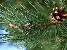 Елочный базар, Цены на новогодние деревья в Крыму выросли на 5-7%
