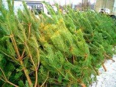 Елочный базар, В этом году в Крыму заготовят 10 тыс. новогодних деревьев