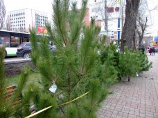 Елочный базар, Продавать елки в Симферополе начнут в середине декабря