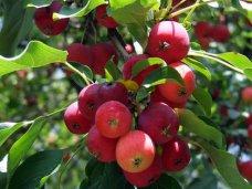 «Февральские окна» не повлияют на урожай фруктов в Крыму