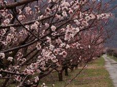 В Крыму из-за мороза пострадали абрикосы, алыча и персики