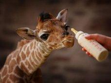 В «Тайгане» ждут рождения маленького жирафа