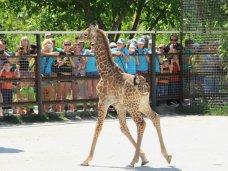 В «Тайгане» зрителям представили новорожденного жирафа