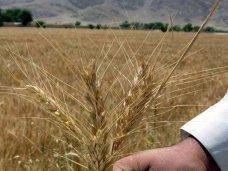 Ущерб от гибели ранних зерновых в Крыму оценили в 377 млн. грн.