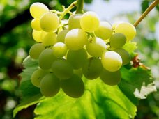 В Крыму планируют собрать больше фруктов и винограда, чем в прошлом году