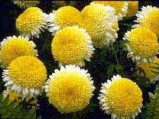 Бал хризантем, Крупноцветковые хризантемы зацветут в Никитском ботсаду к концу октября