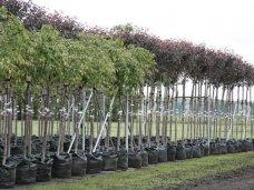 Высадка деревьев, В Евпатории высадят 5 тыс. молодых деревьев