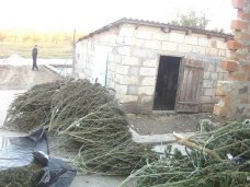 Наркотики, Крымчанин вырастил у себя дома конопли на 1 млн. грн.