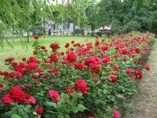 Благоустройство, На набережной в Феодосии высадят розы