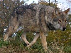 Волки, В подъезде дома на севере Крыма обнаружили волка