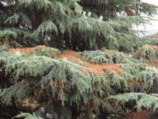 Вырубка деревьев, В Симферополе разберутся, кто спилил ливанский кедр