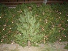 Новогодняя ель, В Крыму планируется заготовить 7,6 тыс. новогодних сосен