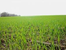 зерновые, В Крыму 425 тыс. га засеяли озимыми зерновыми