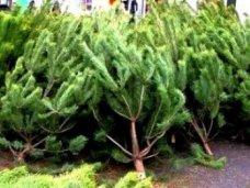Елки, Новогодние елки в Алуште будут продавать в трех местах