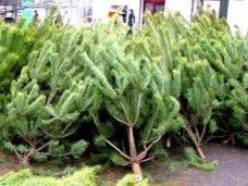 Елочный базар, В Симферополе новогодние елки будут продавать в 36 местах