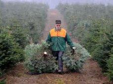 Елочный базар, К новогодним праздникам в Крыму продали почти 9 тыс. сосен