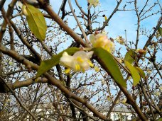 Первоцвет, В Евпатории расцвела жимолость