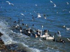Птицы, В Евпаторию на зимовку прилетели лебеди