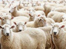 Животноводство, В Крыму увеличилось поголовье овец