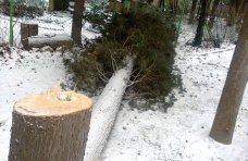 Вырубка деревьев, В Алуште отмечены факты незаконной вырубки деревьев