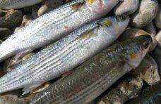 Браконьерство, В Севастополе поймали браконьера с уловом кефали