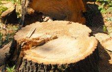 Вырубка деревьев, Предприятие заплатит 24 тыс. грн. за вырубку деревьев и кустов в Мисхоре