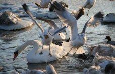 Птицы, В период сильных морозов зимующие в Крыму птицы не пострадали