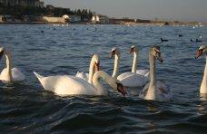 Птицы, Крымские орнитологи призвали подкармливать лебедей только в период сильных морозов