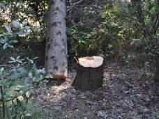 Прокуратура разберется в случае вырубки деревьев в Алупке