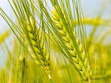 В Крыму озимые зерновые находятся в хорошем состоянии, – министр АПК