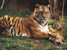 В крымском зоопарке тигрица родила двойню