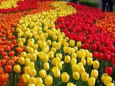 В Никитском ботсаду представят выставку тюльпанов