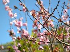 В Крыму померзли ранние фруктовые деревья
