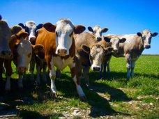 Молочная ферма в Первомайском районе получит 3 тыс. коров к сентябрю