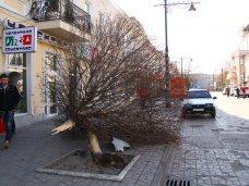 Ущерб от сломанного клена в центре Симферополя оценили в 12,5 тыс. грн.