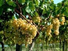 В Крыму сохранится ставка сбора на развитие виноградарства