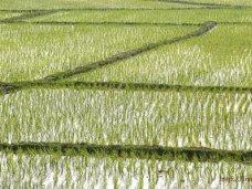 Работников рисовых хозяйств Крыма поддержат дотациями